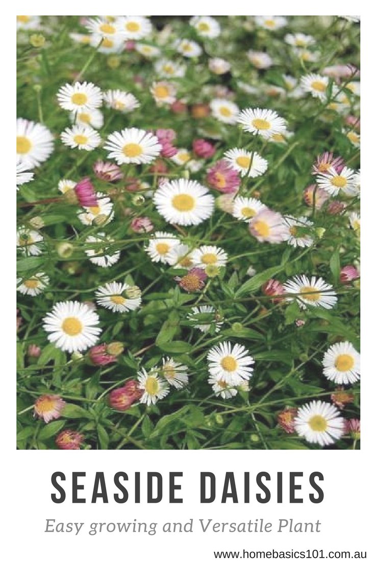 How to Prune Seaside Daises