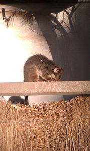 Possum - Research into Keeping chickens