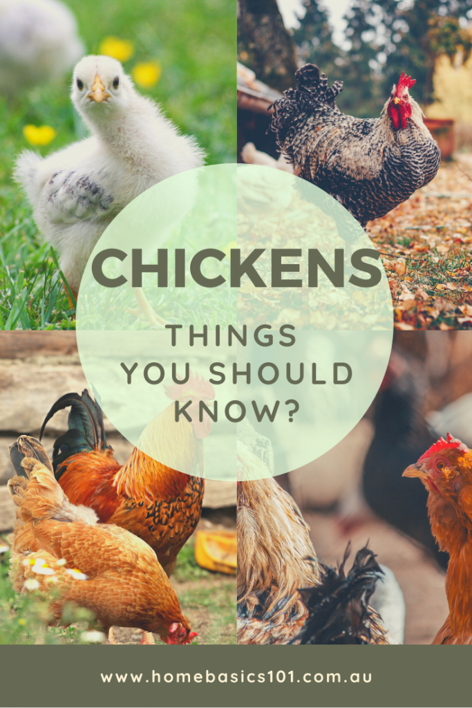 Tips you need to know to keep back yard chickens