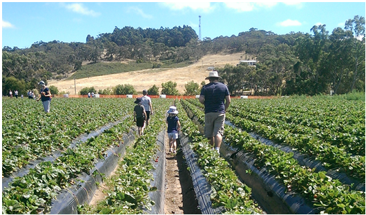 Strawberry Picking with the Family