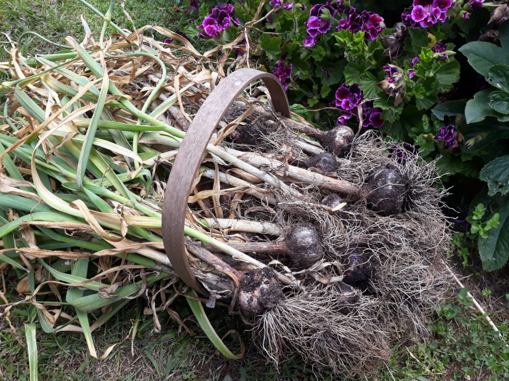 Harvesting Garlic from the patch