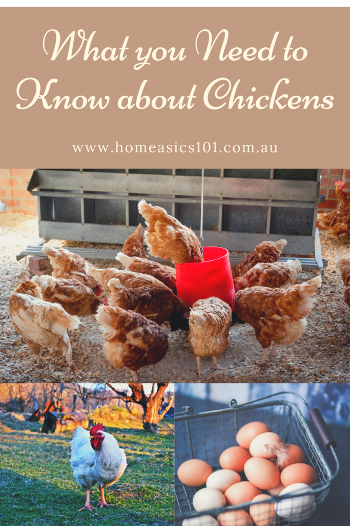 The Best tips to keeping backyard chickens