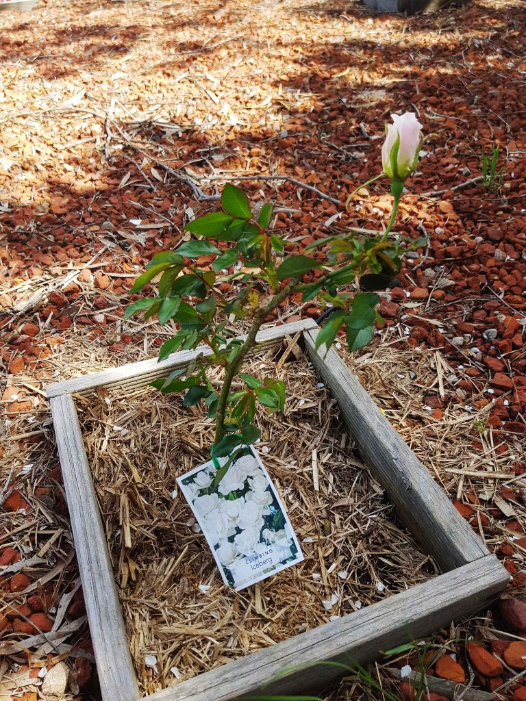 Simple planting tips to successful roses in Spring